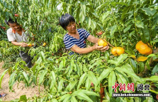 图为村民们正在忙碌着收货劳动果实。 供图