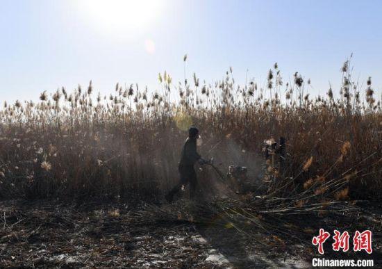 图为雄安新区安新县冬季冰上芦苇收割现场。 韩冰 摄