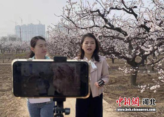 巨鹿县融媒体中心正在杏花园中直播。 胡良川 摄