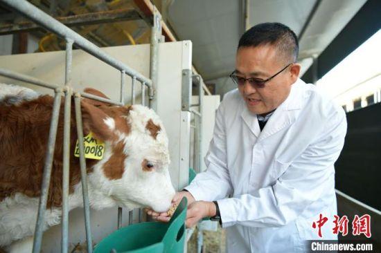李树静在查看幼牛成长情况。 翟羽佳 摄