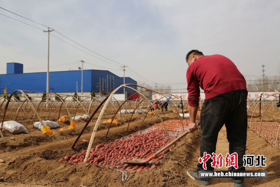 农民在对浇过水的种薯压实,再经埋土、盖膜后等待出苗。 徐海涛 摄