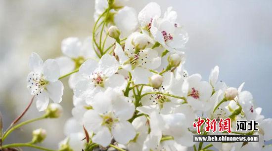 盛开的梨花。 阜平县委宣传部供图