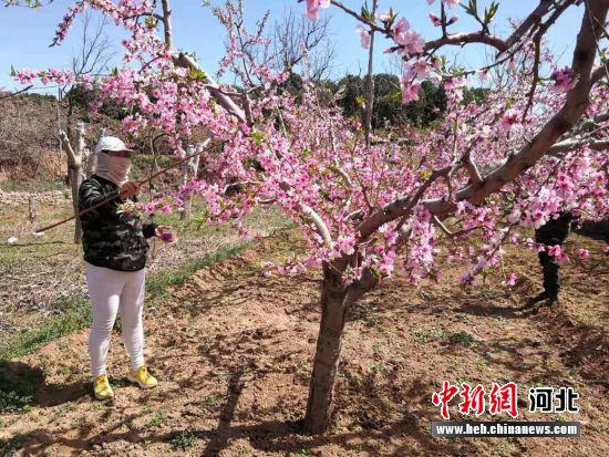村民在为桃花人工授粉。 新颖 摄