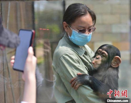 猩猩宝宝与游客见面 翟羽佳 摄