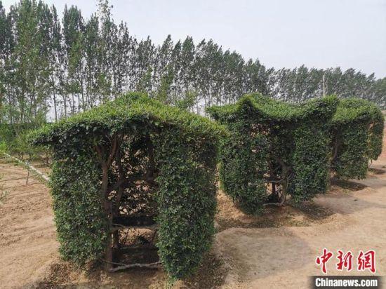 """特殊造型,生长中的""""椅子树""""。 王鹏 摄"""