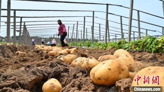 昌黎县种植户正在收获马铃薯。 田征 摄