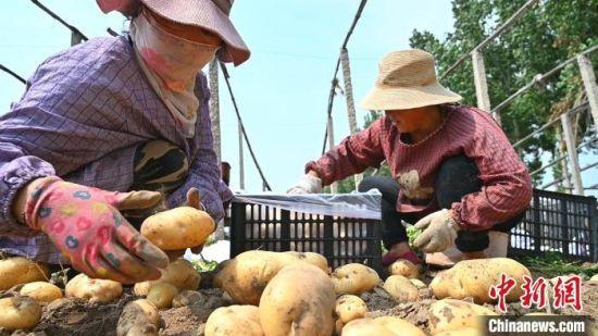 种植户对刚出土的马铃薯分类装箱 田征 摄