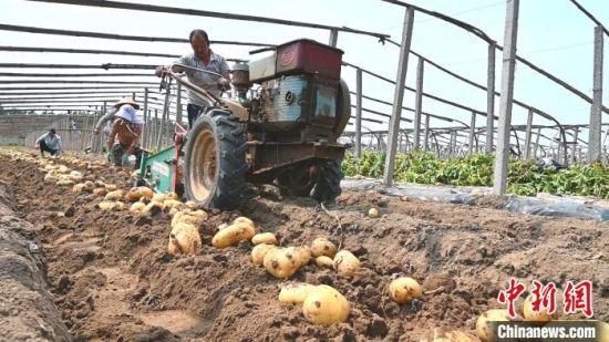 昌黎县马铃薯种植户借助小型机械收获马铃薯。 田征 摄