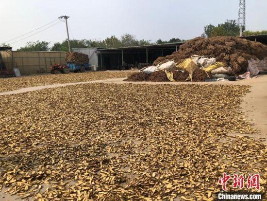 安国市齐村甘草专业合作社正在晾晒的两吨甘草。 郝烨 摄