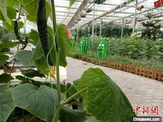 """馆陶县""""黄瓜小镇"""",温室大棚内,各个品种的黄瓜茁壮成长。 王天译 摄"""