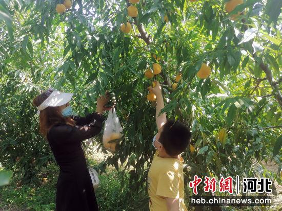游客正在采摘黄桃。 王斌 摄