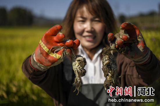 在河北省滦平县金沟屯镇柳家台村一处稻蟹种养合作社,负责人罗丽宁展示捕捞的河蟹。 王立群 摄