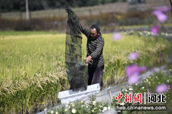 在河北省滦平县金沟屯镇柳家台村一处稻蟹种养合作社,农民在捕捞河蟹。 王立群 摄
