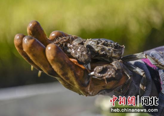 金秋时节,河北省滦平县金沟屯镇柳家台村一处稻蟹种养合作社养殖的河蟹。 王立群 摄