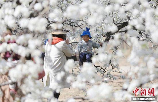河北固安万亩梨花引京津游客