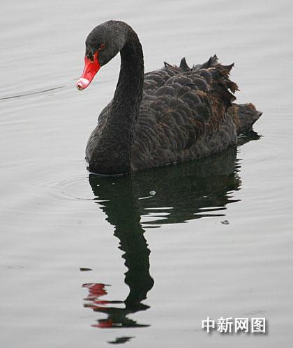 白洋淀首次发现国家一级保护动物黑天鹅(图)