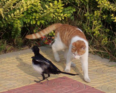 爱情保卫战学猫叫