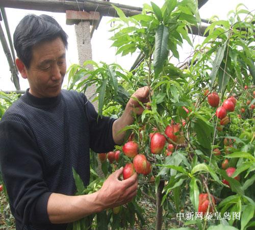 河北昌黎特色高效种植业带领农民踏上致富路-