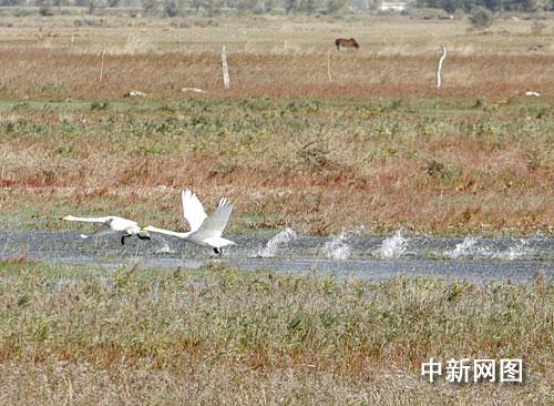 国家保护动物短嘴天鹅在新疆安家