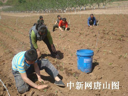 迁安市七彩红薯种植助农民致富(图)
