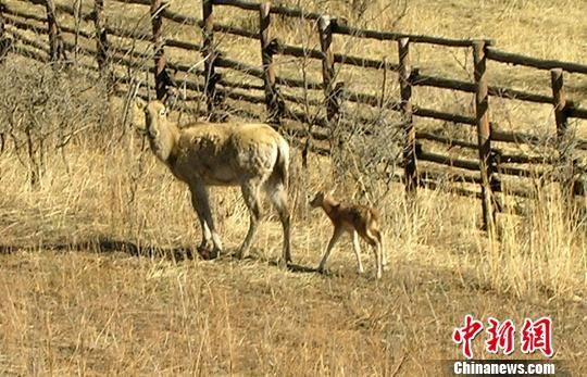 河北规模最大森林野生动物保护区麋鹿喜添新丁