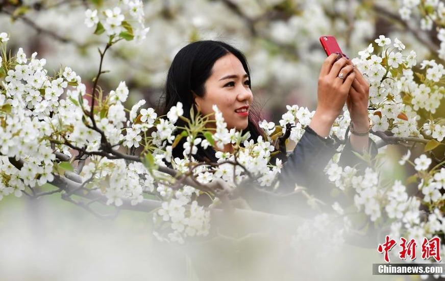 河北赵县25万亩梨花盛开宛如仙境